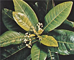 Allspice Uses,Pimenta Dioica,Natural Healing Herbs
