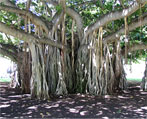 banyan natural herbs
