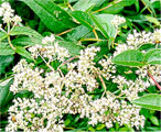 boneset hearbs natural herb