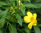 damiana natural herbs