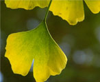 ginkgo leaves natural herbs