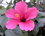 hibiscus natural herbs