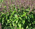 holy basil natural herbs