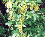 indian barberry natural