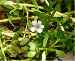 indian pennywort natural