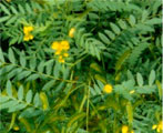 indian senna natural herbs