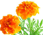 marigold natural herbs