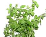 marjoram natural herbs