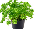 parsley natural herbs