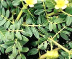 tribulus terrestris natural