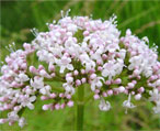 valerian natural herbs